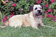 Border Pastels - Border Terrier Dog Portrait by Olde Time  Mercantile