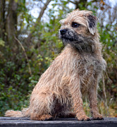 Border Photo Originals - Border Terrier by Patrick Hogan