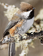 Lhr Images Art - Boreal Chickadee by Larry Ricker