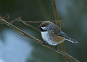 Nina Stavlund - Boreal Chickadee..
