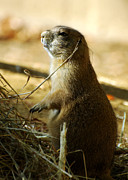 Prairie Dog Photos - Born on the Prairie by Rebecca Sherman