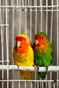 Lovebird Photos - Born To Be Free by Syed Aqueel