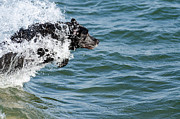 Labrador Photos - Born To Swim by Shane Laing