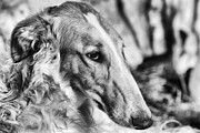 White Russian Posters - Borzoi Dog Portrait Poster by Christian Lagereek