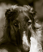 Sight Hound Framed Prints - Borzoi Hound Portrait Framed Print by Christian Lagereek