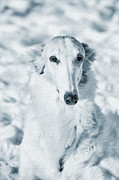 Snow Scape Framed Prints - Borzoi Russian Hound Portrait Framed Print by Christian Lagereek