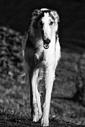 Sight Hound Framed Prints - Borzoi Sigh Hound Dog Framed Print by Christian Lagereek