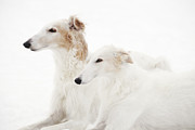 Snow Scape Framed Prints - Borzoi Sight Hounds Framed Print by Christian Lagereek