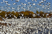 Birds In Snow Posters - Bosque Del Apache AKA Paradise Poster by Bob Christopher