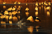 Crane Migration Posters - Bosque Del Apache Crane Taking Flight Poster by Bob Christopher