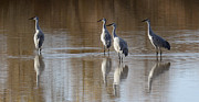 Reflections In Water Prints - Bosque Del Apache Cranes Print by Bob Christopher