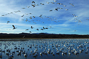 Birds In Snow Framed Prints - Bosque Del Apache Flight Line Framed Print by Bob Christopher