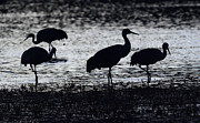 Cranes Prints - Bosque Del Apache Into The Dreamtime 1 Print by Bob Christopher