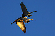Dreamtime Prints - Bosque Del Apache Partners In Flight Print by Bob Christopher