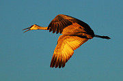 Crane Migration Posters - Bosque Del Apache Sandhill Crane Golden Light Poster by Bob Christopher