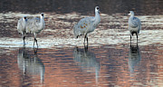 Reflections In Water Prints - Bosque Del Apache Sandhill Cranes 4 Print by Bob Christopher