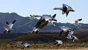 Bosque Del Apache Snow Geese In Flight Print by Bob Christopher