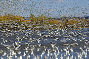 Birds In Snow Posters - Bosque Del Apache Snow Geese In Paradise Poster by Bob Christopher