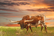 Texas Longhorns Framed Prints - Boss Man Framed Print by Robert Anschutz