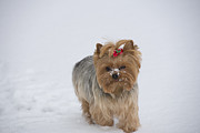 Yorkie Metal Prints - Bossy Bella Metal Print by David Bearden