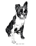 Acrylic Prints Drawings - Boston Bull Terrier by Jack Pumphrey
