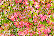Grape Leaves Photos - Boston Ivy by Semmick Photo