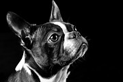 Darcy Evans - Boston Terrier