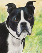 Sitting  Pastels Posters - Boston Terrier Poster by Kate Sumners
