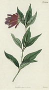 Floral Prints Drawings Posters - Botanical Engraving Poster by English School