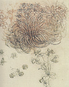 Botanical Drawings - Botanical Study by Leonardo da Vinci