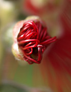 Bottlebrush Bud Print by Michaela Perryman