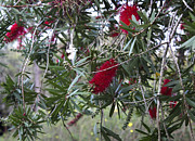 University Photos - Bottlebrush by Claudette DeRossett