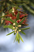 Australian Native Flora Prints - Bottlebrush Flower Print by Joy Watson