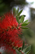 Joy Watson Framed Prints - Bottlebrush in RED Framed Print by Joy Watson