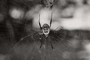 Araneidae Framed Prints - Bottoms-Up 2 Framed Print by Leana De Villiers