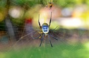 Nephilidae Nephila Prints - Bottoms-up Print by Leana De Villiers