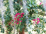 Lacy Floral Framed Prints - Bougainvillea 1 Framed Print by Judy Via-Wolff