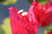 Vine Leaves Posters - Bougainvillea 3 Poster by Cheryl Young
