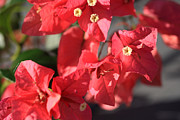 Vine Leaves Prints - Bougainvillea 4 Print by Cheryl Young