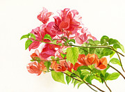 Colored Flowers Painting Posters - Bougainvillea on White Background Poster by Sharon Freeman