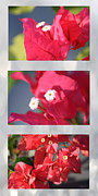 Vine Leaves Posters - Bougainvillea Triptych Poster by Cheryl Young