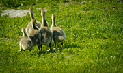 Canadian Prints - Bouncing Along - Baby Canadian Geese Print by Laria Saunders