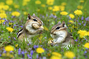 Chipmunks Framed Prints - Bountiful Generosity Framed Print by Christina Rollo