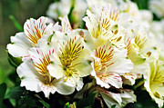 Peruvian Lily Photos - Bouquet of Alstroemeria by Kaye Menner