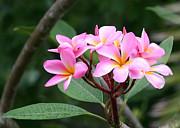 Sabrina L Ryan - Bouquet of Pink Plumeria