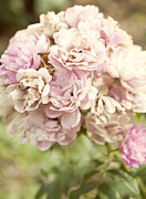 Beautiful Photo Prints - Bouquet of Vintage Roses Print by Juli Scalzi