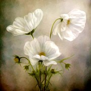 Marilyn Giannuzzi - Bouquet of White Cosmos