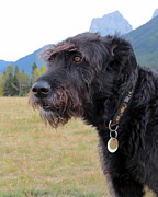Brown Dogs Photos - Bouvier des Flandres by Ramona Johnston