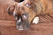 Boxer Dog Framed Prints - Boxer Boy Framed Print by Christina Kulzer