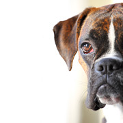 Boxer Dog Photos - Boxer dog by Jana Behr